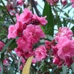 Les dangers du laurier rose