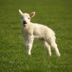 superstition et agneau