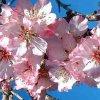 Symbole de la fleur l'amandier