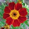 Symbole de la fleur l'oeillet d'inde