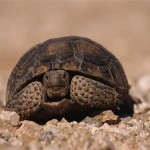 superstition-tortue