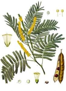 Vertus de l'acacia à cachou et propriétés médicinales