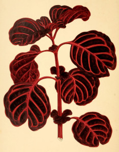 Vertus de l'achyranthe et propriétés médicinales