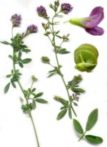 Vertus de l'Alfalfa et propriétés médicinales