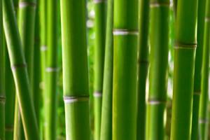 Vertus du bambou et propriétés médicinales