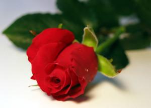 Vertus et bienfaits de la Rose Rouge
