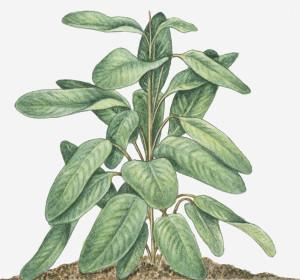 Vertus de l'arrow-root et propriétés médicinales