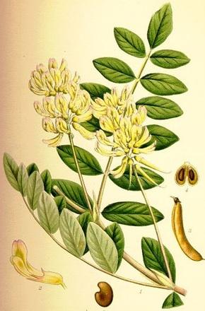 Astragale Bio : Réductions - Herbes - Indications |  Quels sont les bienfaits ?