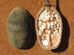 Vertus du baobab et propriétés médicinales