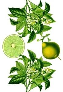 Vertus de la bergamote et propriétés médicinales