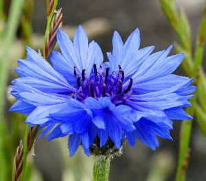 Vertus du bleuet et propriétés médicinales